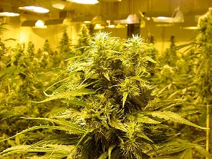 Portland, OR. Marijuana Growers Insurance